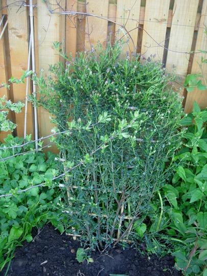 Ceanothus Concha (Ceanothus burkwoodii (California lilac))