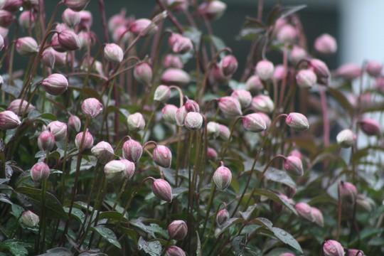 Clematis Montana 'Elizabeth' (Clematis montana (Clematis))
