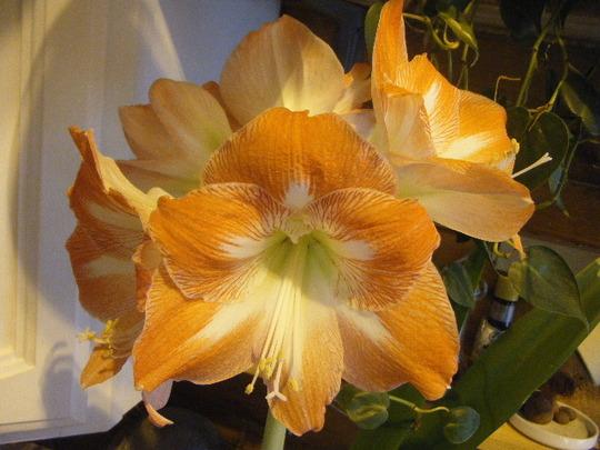 Five Bud, Amaryllis (Hippeastrum papilio (Butterfly amaryllis))