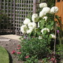 Early days in the the garden/Hydrangea (Hydrangea Arborescens (I think))
