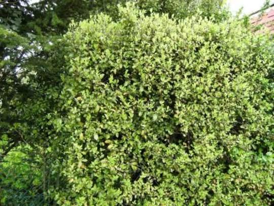 Pittosporum (Pittosporum tenuifolium (Pittosporum))
