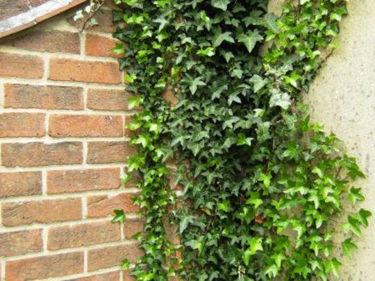 Ivy (Hedera helix (English ivy))