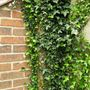 Ivy (Hedera helix (English ivy))