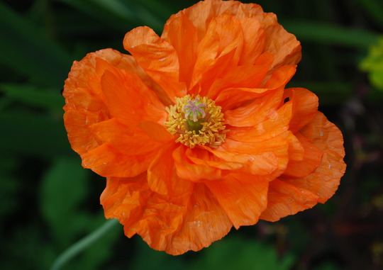 Orange Poppy. (Papaver orange.)