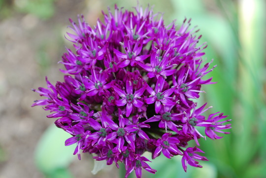 Allium out........ (Allium Purple Sensation)