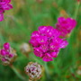 Thrift in alpine sink (Armeria maritima (Armerie vulgaire) Armada Rose)