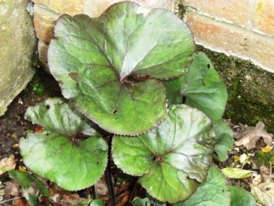 Ligularia (Ligularia)