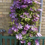6yrs old clematis