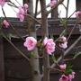 peach tree before leaf curl