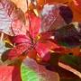 'Smoke bush'  autumn shades of colour