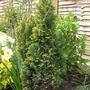 Chamaecyparis Lawsoniana 'Ellwoods Gold' (Chamaecyparis lawsoniana (Lawson cypress))