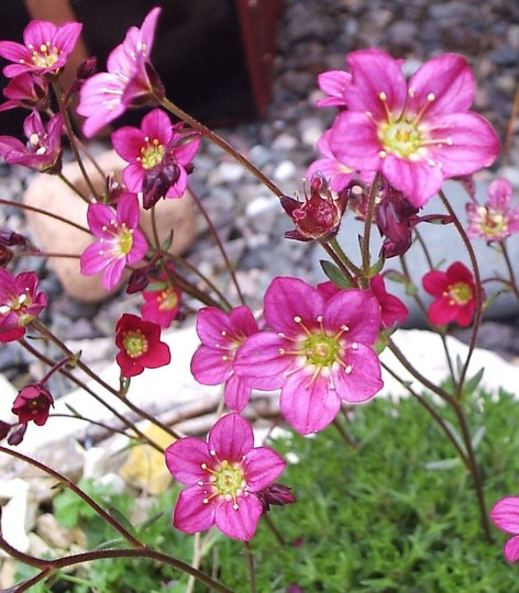 """Another of Saxifrage """"Peter Pan"""""""