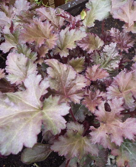 "Heuchera ""Chocolate Ruffles"""