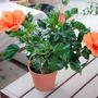 Orange Hibiscus (Hibiscus rosa-sinensis (Chinese Hibiscus))