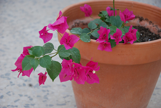 Potted Bougainvillea