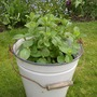 Apple Mint (Mentha suaveolens (Apple mint))