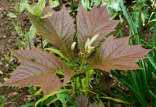 Rodgersia podophylla.. (Rodgersia aesculifolia (Rodgersia))