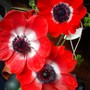 Anemone Red.