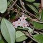 Hoya (Clerodendrum ugandense (Blue glory bower))