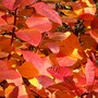 'Smoke bush'  autumn colour