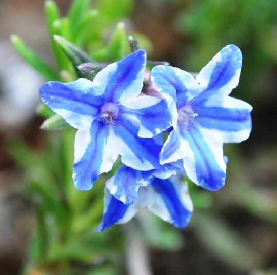 Lithospermum (Lithospermum 'Blue star')