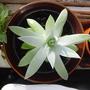 A garden flower photo (Dudleya)