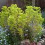 Euphorbia (Euphorbia cyparissias (Cypress Spurge))