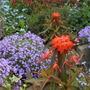 Euphorbia_fireglow_