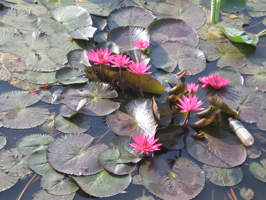 water lilies at a botanical park