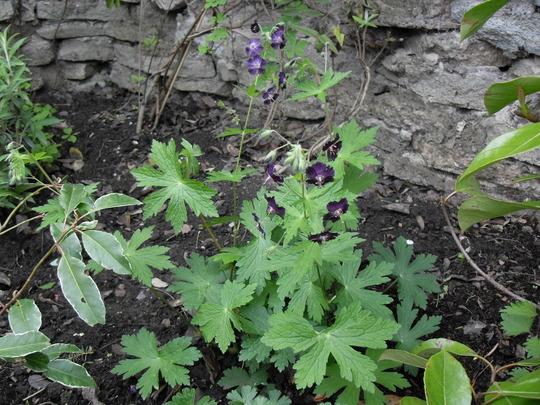 Geranium `lilly lovell` (Geranium phaeum (Mourning widow))