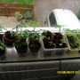 chillies and tomatoes in spare bedroom window