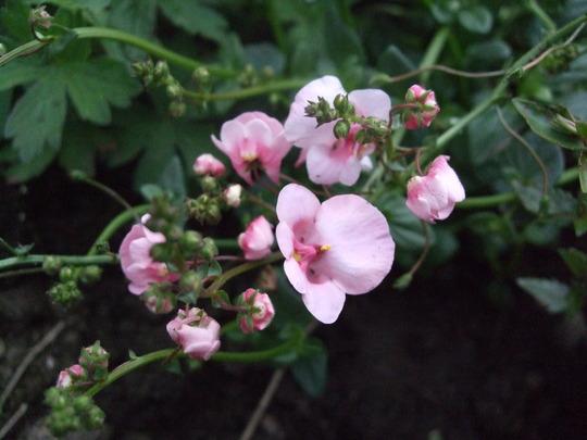 Diascia 'Pink Dream' (Diascia)