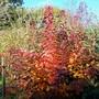 'Smoke bush' in our garden