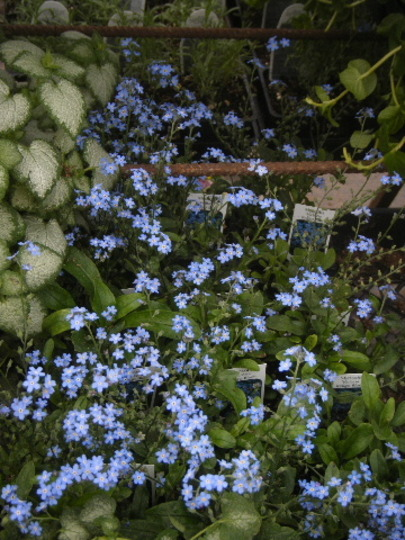 Myosotis and Lamium