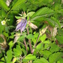 Aquilegia...poor thing!