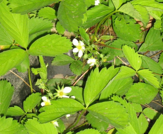 wild strawberry on the south facing rocky slope