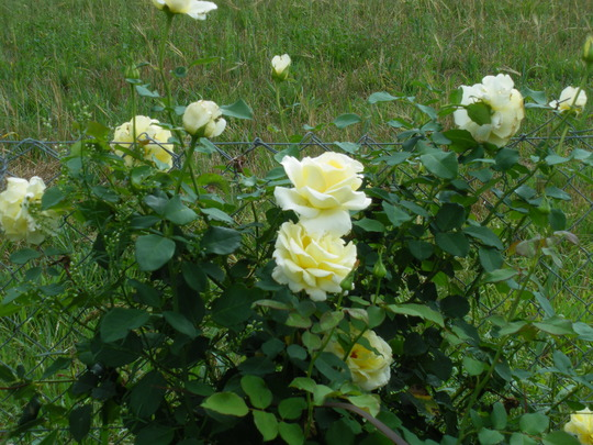 A lovely white rose....name unknown