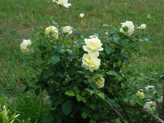 White Rose again