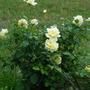White Rose again