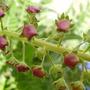 Verbascum (Verbascum phoeniceum (Purple Mullein))