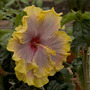 Hibiscus at Winsford