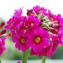Primula japonica Miller's Crimson. . (Primula japonica (Japanese Primrose) Miller's Crimson)