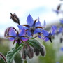Borage.... (Borago officinalis)
