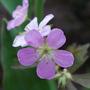Hardy Geranium (Geranium maculatum (Cranesbill) Espresso)