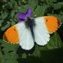 Orange_tip_butterfly