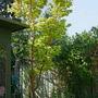 "Acer ""sango-kaku"" (Acer palmatum (Japanese maple))"