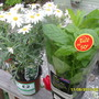 marguerite and mint