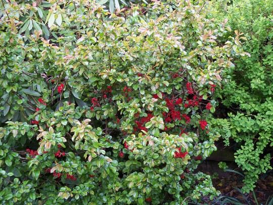 japonica (Chaenomeles x superba (Flowering quince))