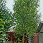 Pittosporum_behind_shed