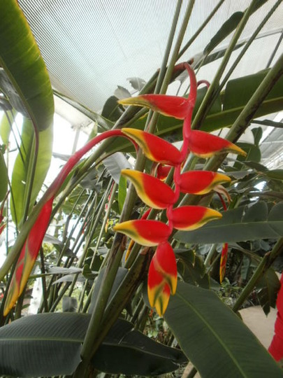 Heliconia (Heliconia rostrata (Lobster Claw))